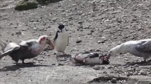 Giant petrel carnage