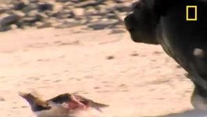 Southern Sea Lion chases down a Gentoo Penguin