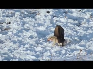 Wolf and Bison fighting to the death