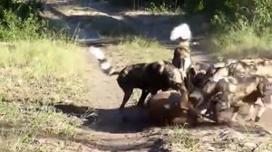 Antelope gets ripped open by African Wild Dogs