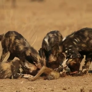 African Wild Dogs devouring a baboon