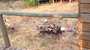 African wild dogs brutalize pregnant Impala and remove fetus