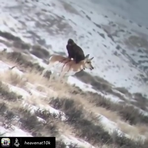Eagle eating live Antelope