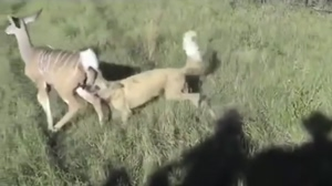 African Wild Dog takes down a Kudu calf and digs in