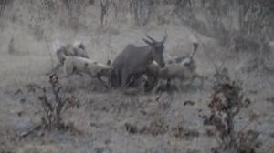 A Tsessebe is unable to defend itself from African Wild Dogs